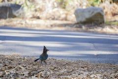 Голубой jay стоя на дороге Стоковое Изображение