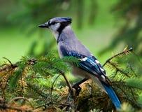 голубой jay стоковое фото rf