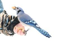 голубой jay Стоковые Изображения RF