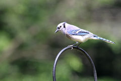голубой jay Стоковое Фото
