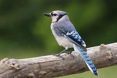 голубой jay Стоковая Фотография