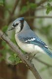 голубой jay Стоковые Изображения