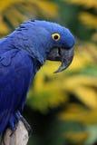 голубой macaw гиацинта Стоковые Изображения