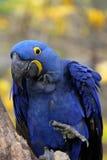 голубой macaw гиацинта Стоковое фото RF