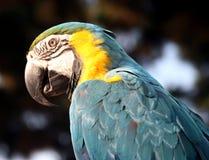 голубой macaw золота крупного плана Стоковые Изображения