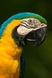 голубой macaw золота Стоковое Изображение