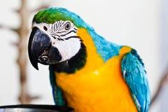 Голубой macaw попыгая Стоковые Изображения
