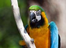 голубой macaw садился на насест желтый цвет вала Стоковые Фото