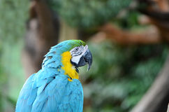 голубой macaw Стоковое Изображение