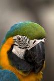 голубой macaw Стоковые Изображения