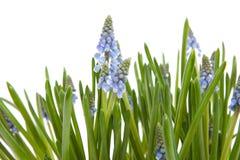 голубой muscari виноградного гиацинта цветков botryoides Стоковое Изображение RF
