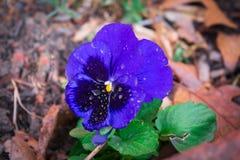 Голубой Pansy с росой утра стоковое изображение