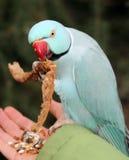 голубой parakeet стоковое фото rf