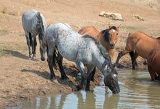 Голубой Roan жеребец выпивая на waterhole с табуном диких лошадей в ряде дикой лошади гор Pryor в Монтане США Стоковая Фотография