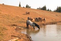 Голубой Roan жеребец выпивая на waterhole с табуном диких лошадей в ряде дикой лошади гор Pryor в Монтане США Стоковые Изображения