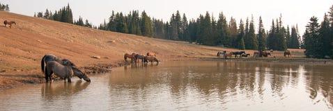 Голубой Roan жеребец выпивая на waterhole с табуном диких лошадей в ряде дикой лошади гор Pryor в Монтане США Стоковая Фотография RF
