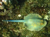 голубой stingray кораллового рифа запятнанный Стоковое фото RF