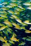 голубой striped луциан стоковые фотографии rf