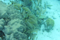голубой striped grunt рыб Стоковые Фотографии RF