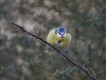 голубой tit ветви Стоковые Изображения