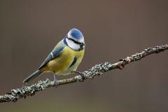 голубой tit ветви Стоковое Фото
