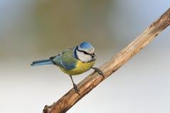 голубой tit ветви Стоковые Фото