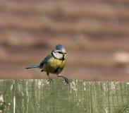 голубой tit гусеницы Стоковая Фотография