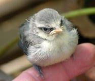 голубой tit зелёного юнца цыпленока Стоковые Изображения