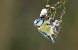 Голубой tit на хворостине зимы Стоковое Изображение