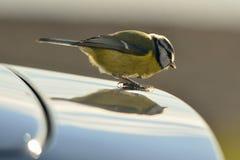 Голубой Tit на Bonnet автомобиля стоковые фотографии rf