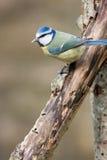 голубой tit распаденный ветвью тухлый Стоковые Изображения RF