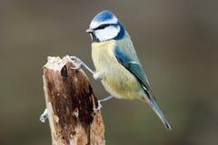 голубой tit сломанный ветвью ый Стоковое фото RF