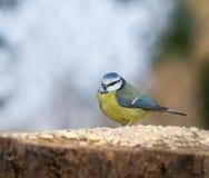 голубой tit таблицы семени Стоковые Фото