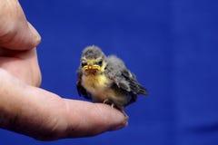 голубой tit цыпленока Стоковые Фотографии RF