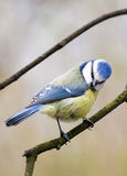 голубой tit Стоковые Изображения RF