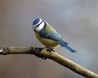 голубой tit Стоковое Изображение