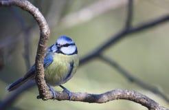 голубой tit parus caeruleus стоковые фотографии rf