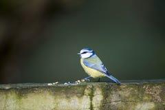 голубой tit parus caeruleus Стоковые Фото