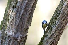 голубой tit parus caeruleus Стоковые Изображения RF