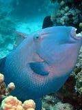 голубой triggerfish Стоковые Изображения