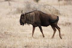 голубой wildebeest Стоковые Изображения