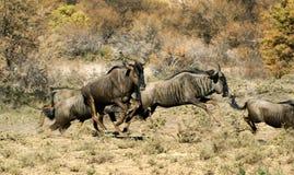 голубой wildebeest стоковое изображение rf