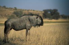 голубой wildebeest стоковое фото