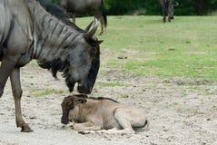 голубой wildebeest стоковое фото rf