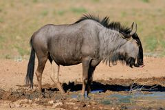голубой wildebeest стоковые фотографии rf
