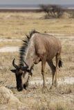 голубой wildebeest Стоковое Изображение