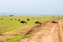 Голубые антилопы гну бежать и играя в ландшафте Serengeti Стоковая Фотография RF