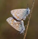 голубые бабочки общие Стоковое Изображение RF
