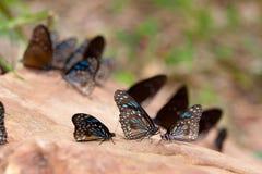 Голубые бабочки тигра на утесе Стоковое Фото