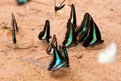 Голубые бабочки тигра на утесе Стоковые Фотографии RF